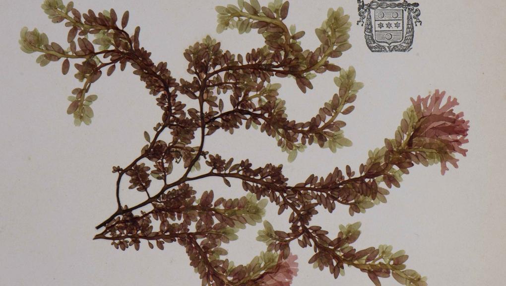 Chylocladia ovalis © MNHN - Agnès Iatzoura