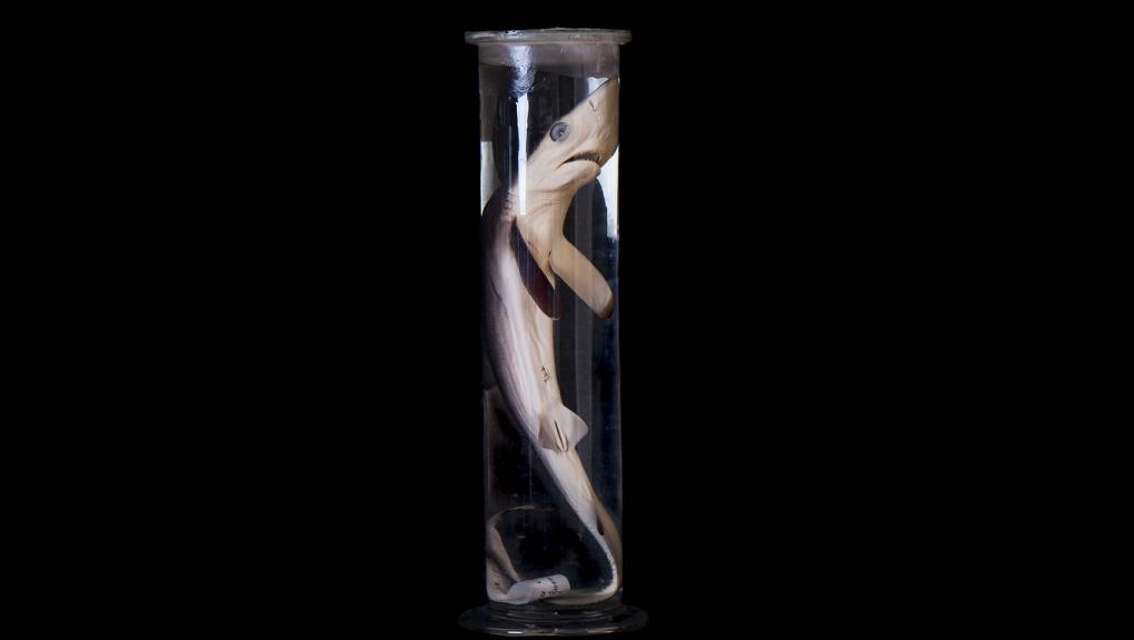<em>Carcharias glaucus</em> © MNHN - Agnès Iatzoura