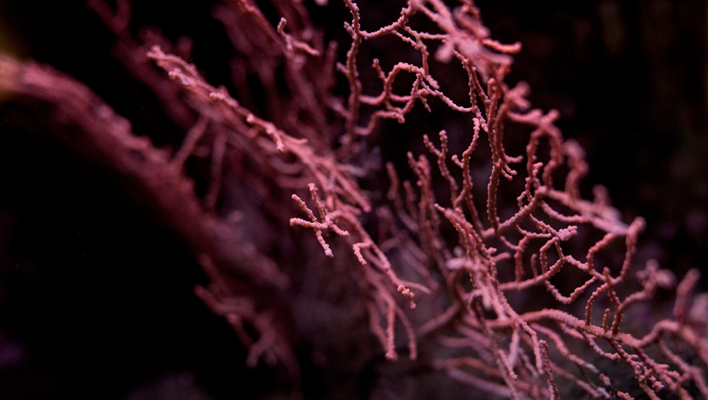 Warty gorgon (<em>Eunicella verrucosa</em>) - Concarneau Marinarium © MNHN - Agnès Iatzoura