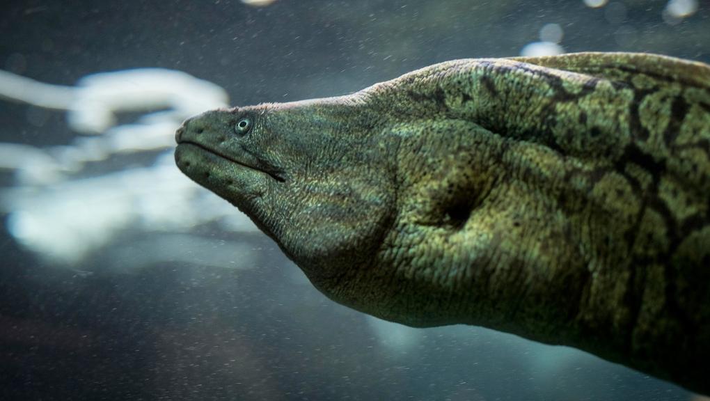 Moray eel (<em>Muraena helena</em>) - Concarneau Marinarium © MNHN - Agnès Iatzoura