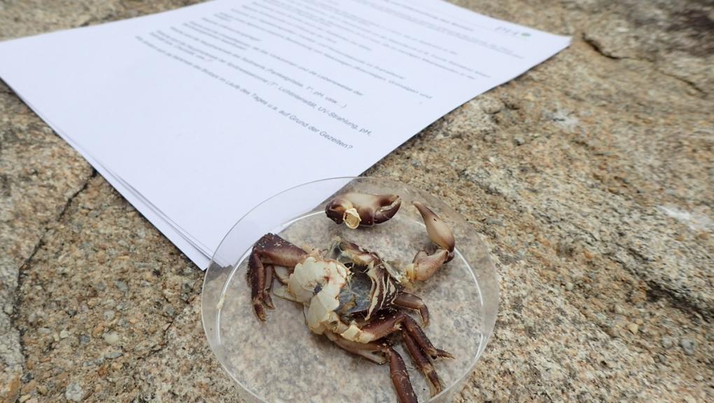 Crabe disséqué © MNHN - Anouchka Krygelmans