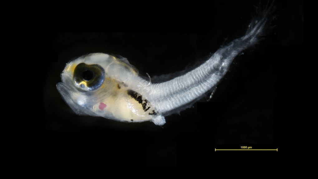 Blenny larva, fished in the bay of forest © Cyril Gallut