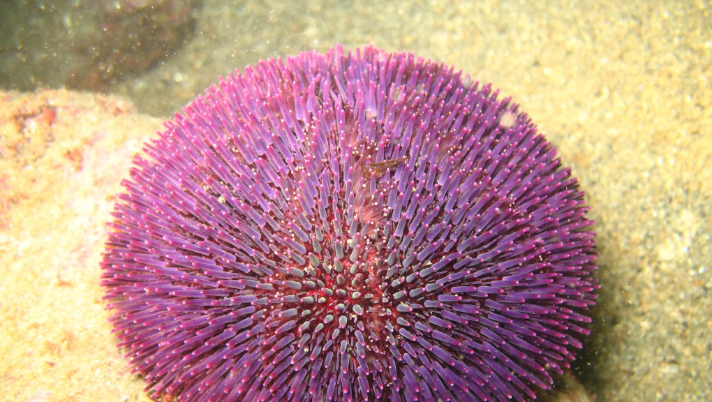 Oursin violet © Denis Crouzet
