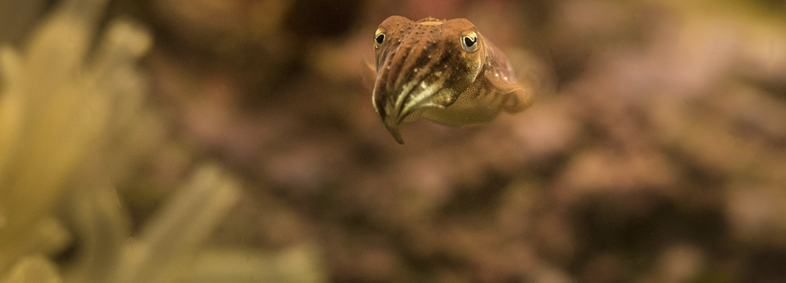 Common cuttlefish (Sepia officinalis) © MNHN - Agnès Iatzoura