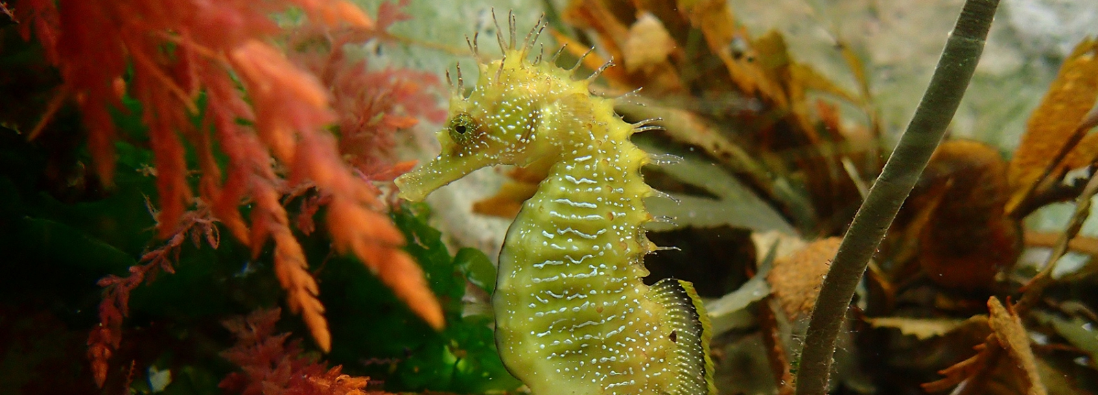 Hippocampe moucheté (Hippocampus guttulatus) © MNHN - Lionel Feuillassier