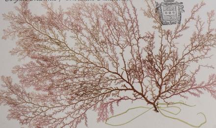 Plocamium cartilageum © MNHN - Agnès Iatzoura