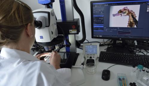 Etude d'hippocampe au microscope, Station marine de Concarneau © MNHN - J.C Domenech