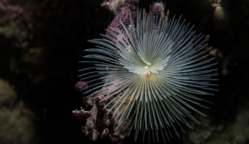 Spirographe (Sabella spallanzanii) © MNHN - Agnès Iatzoura