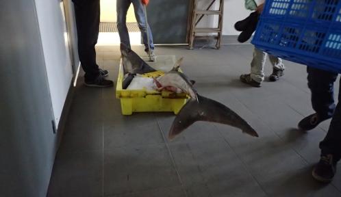 Requin taupe © MNHN - Anouchka Krygelmans